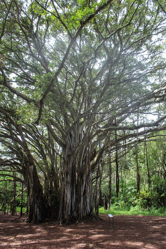 Banyan Tree at Kawela Point near Kahuku Point and Turtle Bay Oahu Hawaii