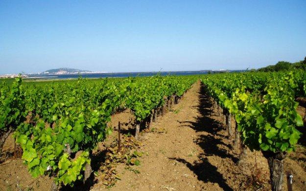 picpoul de pinet vineyards languedoc france