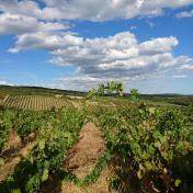 Grenache vineyard Fagueres France Languedoc