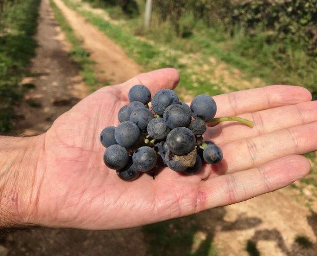 racemi harvest Fatalone Puglia Italy