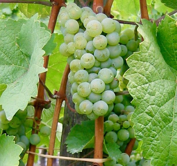 pecorino wine grape
