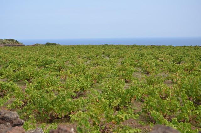 albarello bush training Pantelleria Italy