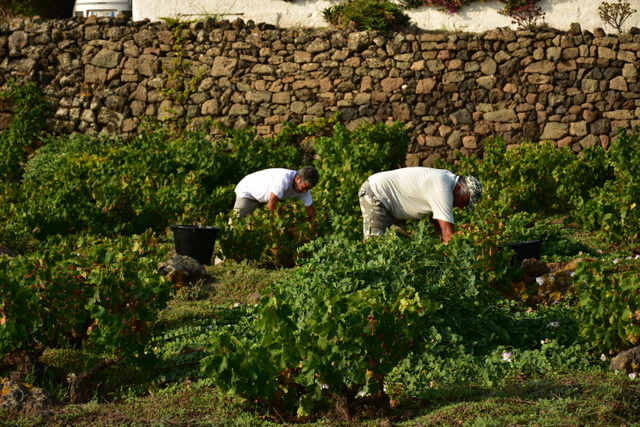 Harvest Pantelleria zibibbo albarello bush vines Vinisola