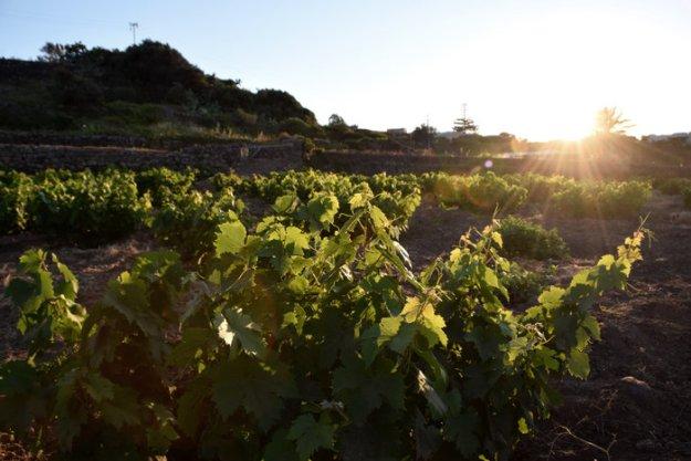 Isole di Pantelleria Italy campobello vineyard