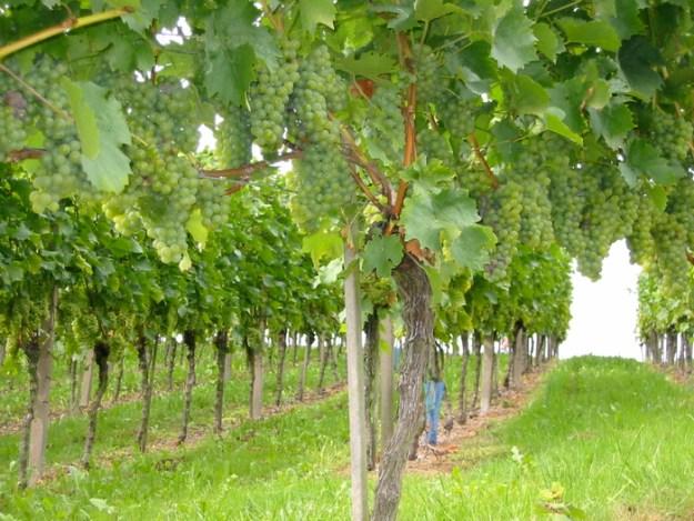 pecorino wine grape italy le marche abruzzo Ian d'Agata