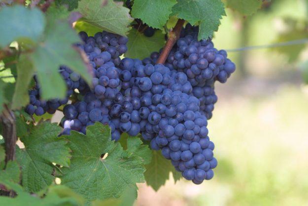 Pineau d'Aunis wine grape Loire valley Touraine