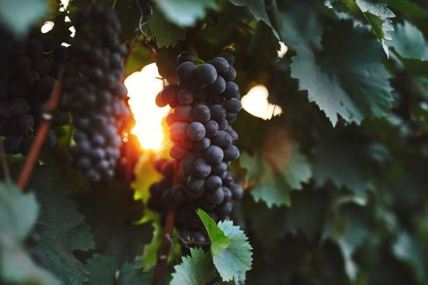 Clusters of Feteasca Neagra, a thick-skinned red grape indigenous to Moldova and Romania. Resistant to both drought conditions and cold temperatures, the grape has characteristic blackberry aromas.