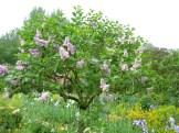 Lilacs photo - Karen Anderson