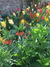 tulip close-up - photo - Karen Anderson