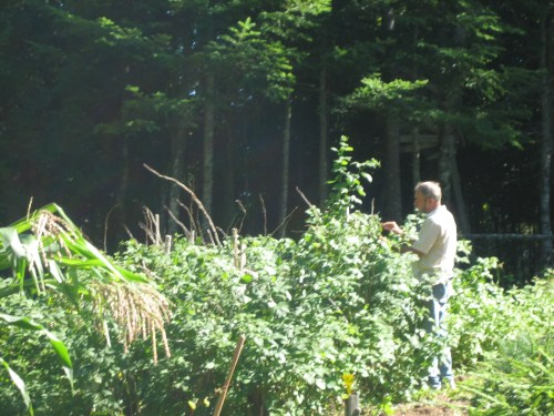 Dad tending one of his gardens