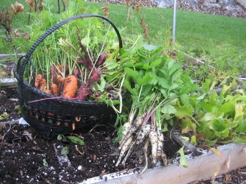 Heirloom Rainbow Carrots & Yummy Parsnips grown in a Square Food Garden Frame
