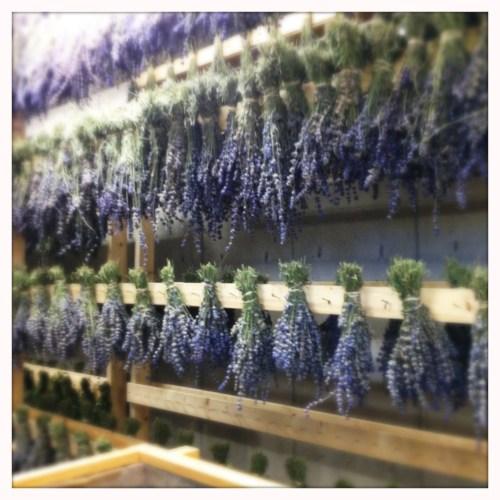 Lavender, drying