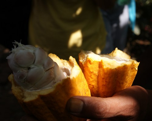 A freshly picked cocoa pod in Mr. Abraham's spice garden, Periyar, India photo - Karen Anderson