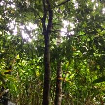 cinnamon velum tree - photo - Karen Anderson