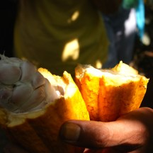 cocoa beans are covered in a white pith - photo - Karen Anderson