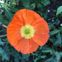 poppy - photo - Karen Anderson