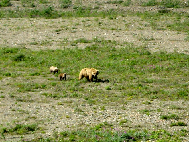 Cinnamon Bear and Cubs, Denali