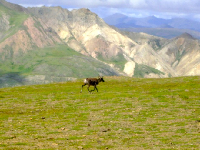 Reindeer in the wild, Denali, AK