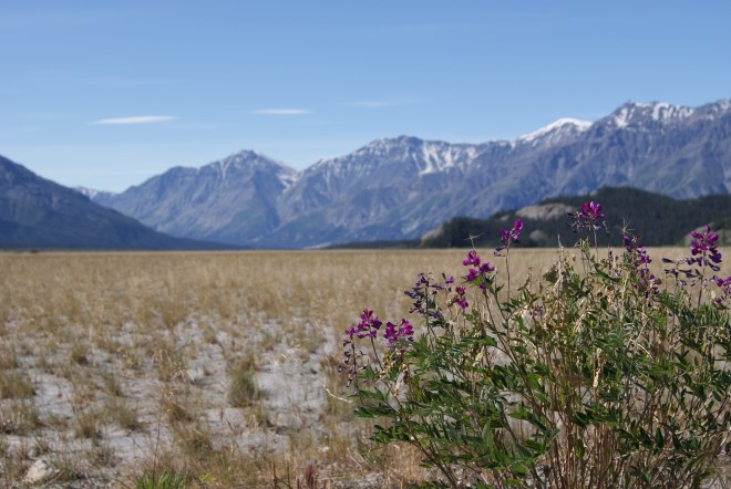Fireweed at Kluane National Park, YK