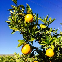 Oranges and Blue Skies in California - photo - Karen Anderson