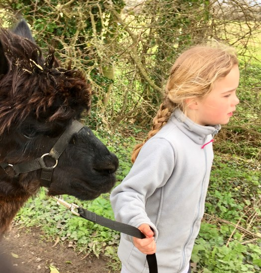 A confident little girl leading her alpaca