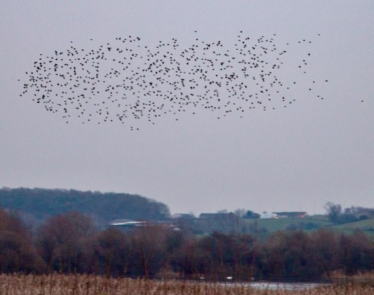 The light fades as the starlings get ready to roost. Photo credit: Eric Richardson