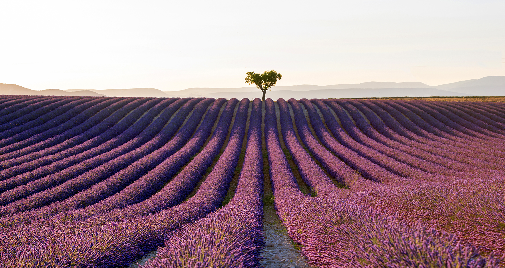 A lavender field in France, row upon row of lavender plants in flower. The composition is symmetrical, with a lone tree on the mid-point of the horizon of the field. Taken by Tracey Whitefoot.