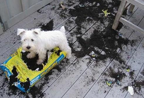 West Highland Terrier dog digging dirt