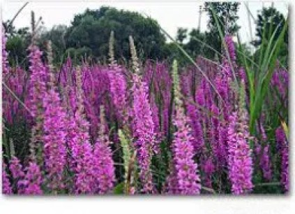 Purple loosestrife noxious weed savvy examiner
