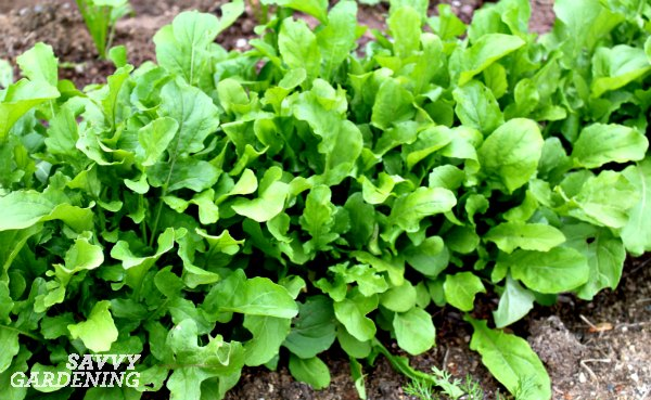Arugula is a fast growing green perfect for spring and fall.
