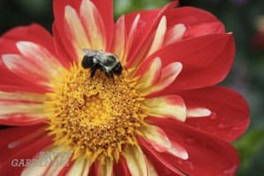 Attracting more bees and pollinators: 6 ways to help our native insects