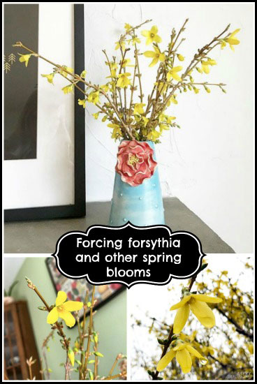 Forcing forsythia and other spring branches