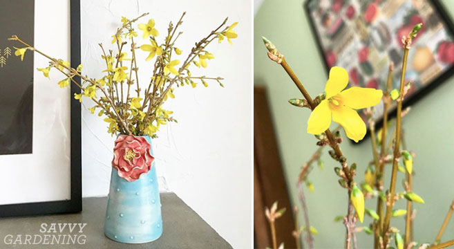 forcing forsythia and other spring blooms
