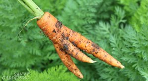 Good carrots gone wrong