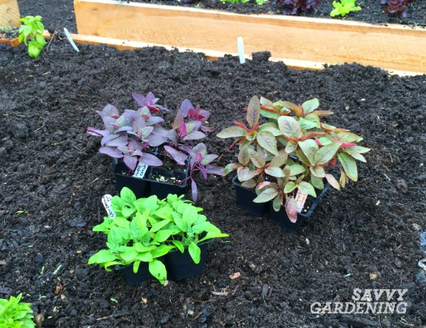 How to harden off seedlings to prepare them for the garden!