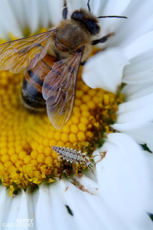 pollinator-predator