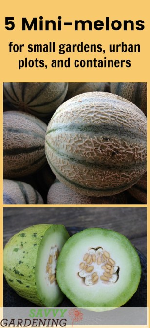 5 mini melons for small gardens, urban plots, and containers.