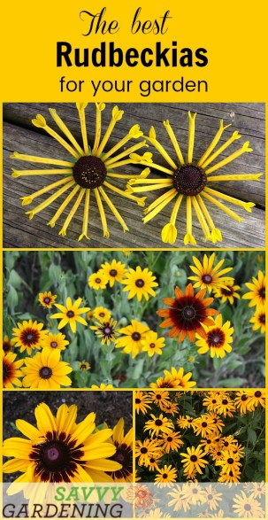 Rudbeckias: Powerhouse plants for your garden - Meet several different varieties that will knock your gardening socks off!
