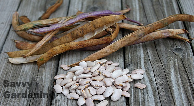 Saving Bean Seeds