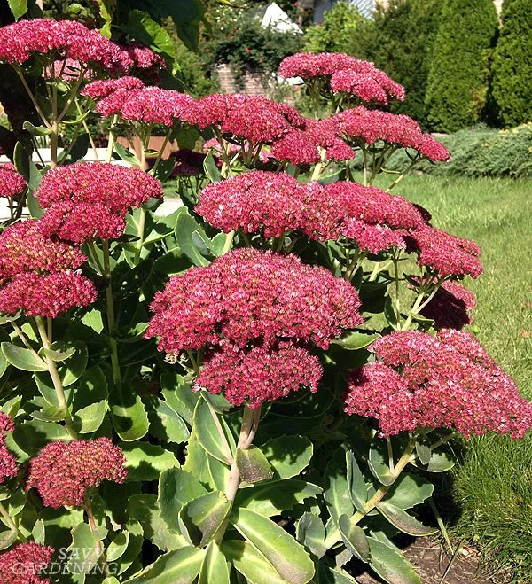 This sedum was a wee little thing when I planted it, but now it's a voluptuous, dependable fall bloomer.