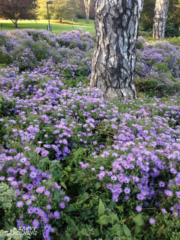 Asters: Late-season perennials with punch