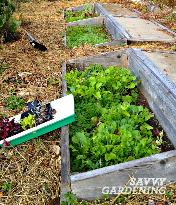 By late October, my cold frames are packed with hardy salad greens, root crops, stem veggies (like leeks) and aromatic herbs. I mulch the area around the frames with straw or pine needles to help suppress weeds and keep things looking tidy.