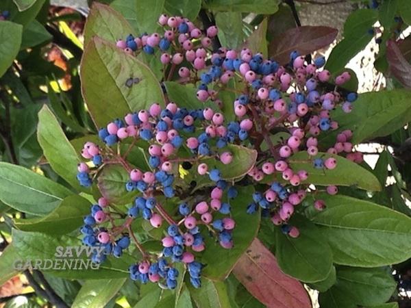 Possum haw viburnum berries