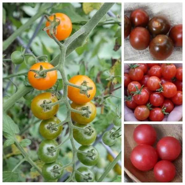 Discover the best cherry tomato varieties for your garden in a rainbow of colors.
