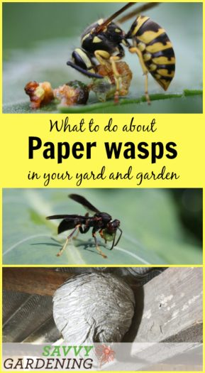 What should you do when paper wasps make a home in your yard or garden?