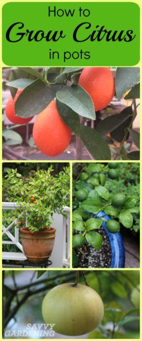 Growing citrus in pots: 8 simple steps