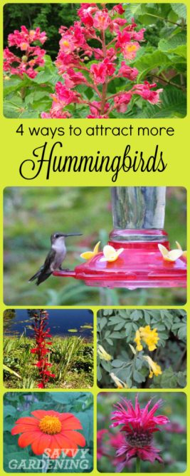 Attracting hummingbirds to the garden involves more than just hanging up a feeder. Use these four tips to really lure them in!