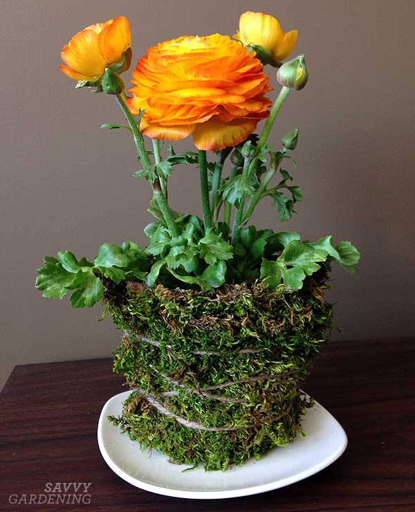 I loved the look of ranunculus in my moss-covered pot!