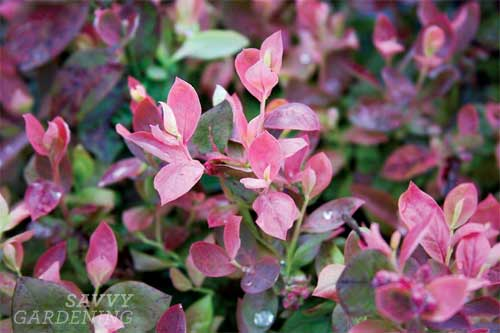 Brazelberries 'Pink Icing' blueberry