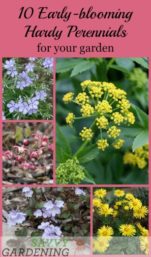Early blooming perennials 10 favorites for your garden 10 early blooming hardy perennials for your garden mightylinksfo